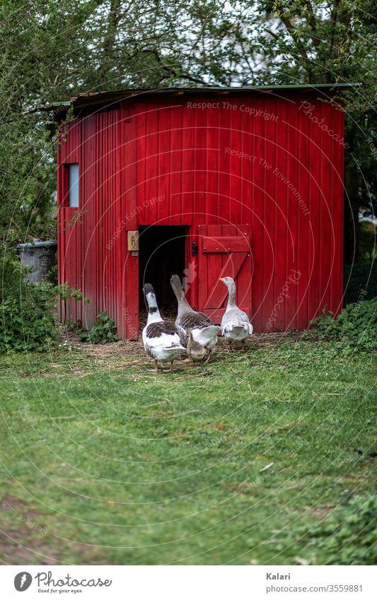 Gänse in Freilandhaltung gehen zu ihrem Stall in rot auf einer Wiese freilandhaltung gänsestall gans tierhaltung gössel bauernhof schnabel schwarm küken weiß