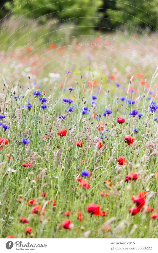 Mohn und Kornblumenfeld mit Gräsern Feld Wiese Frühling Sommer romantisch Blüten Natur Blumen Außenaufnahme Pflanze Umwelt grün rot Menschenleer Mohnblüte schön