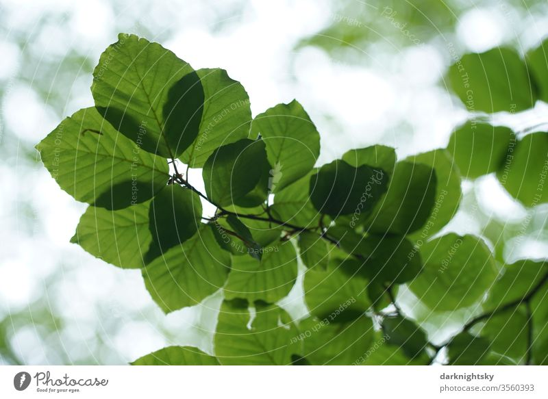 Blätter einer Buche im Gegenlicht Textur Blatt Grün Baum Detail Pflanze Fagus Fagaceae natürlich botanisch Natur Muster Nahaufnahme Makro Umwelt Buchen Freude