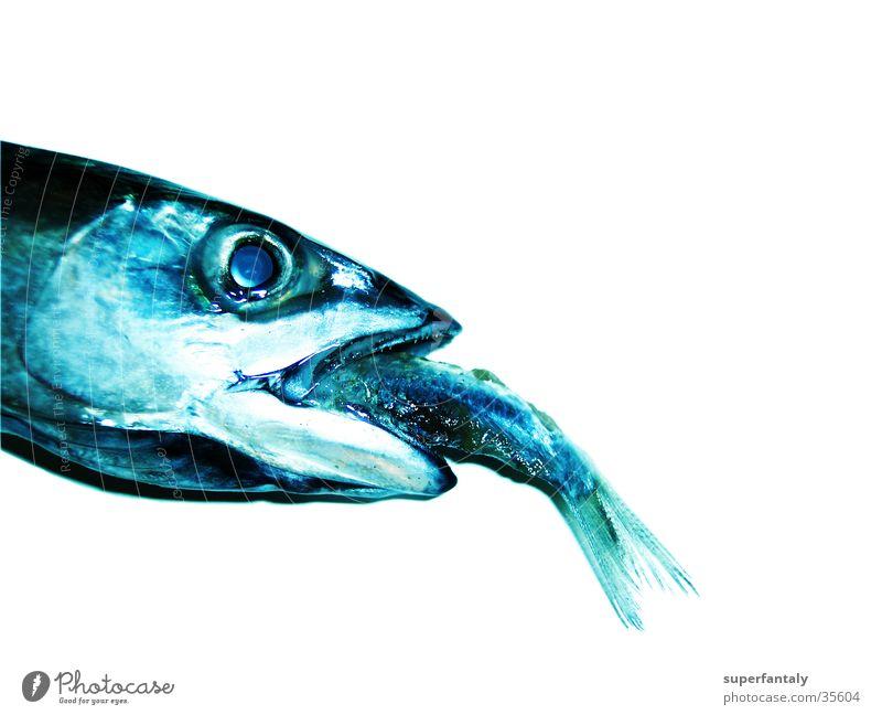 fisch isst fisch Fressen Makrele verschlingen Kieme Erfolg gefangen Fototechnik Fisch blau Fischauge Maul kleiner fisch Scheune
