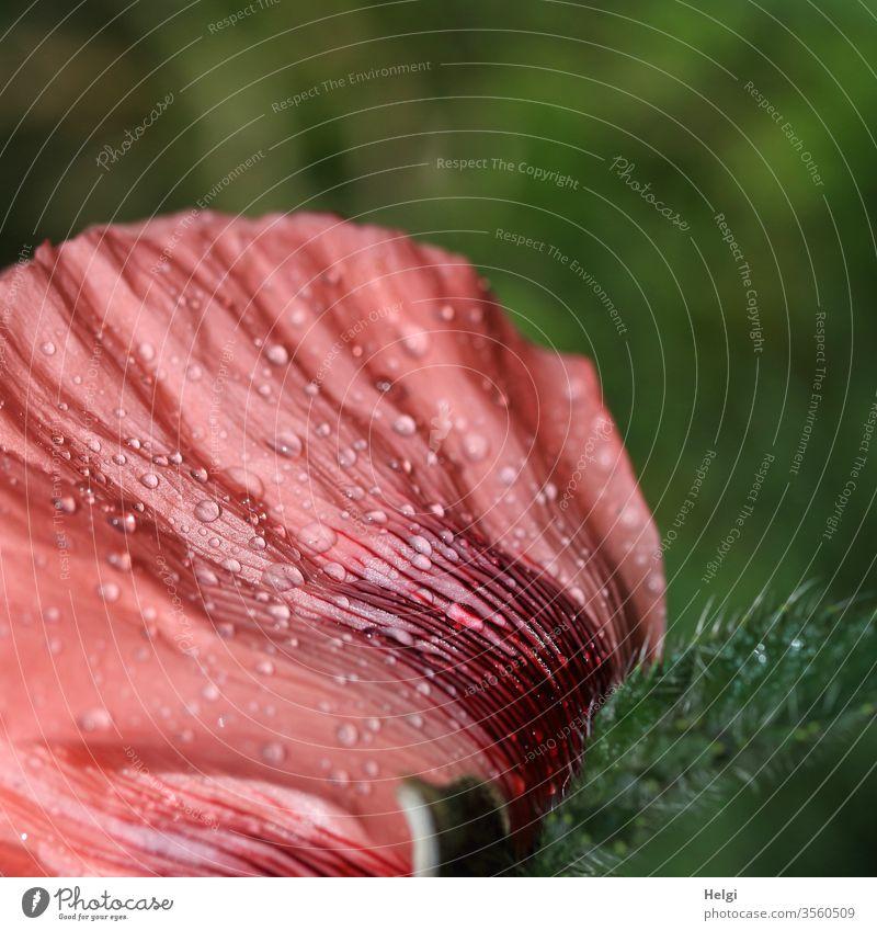 Detail einer rosa Mohnblüte mit Regentropfen auf dem Blütenblatt Rückansicht Tropfen nass Nahaufnahme Makroaufnahme Pflanze Natur Blume Sommer Detailaufnahme