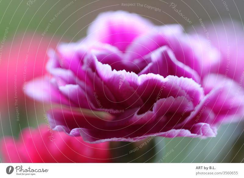 zarte Nelke makro nahaufnahme filigran lila pink blume Blütenpflanze gartennelke weiß edel.unikat wellig blumig flower