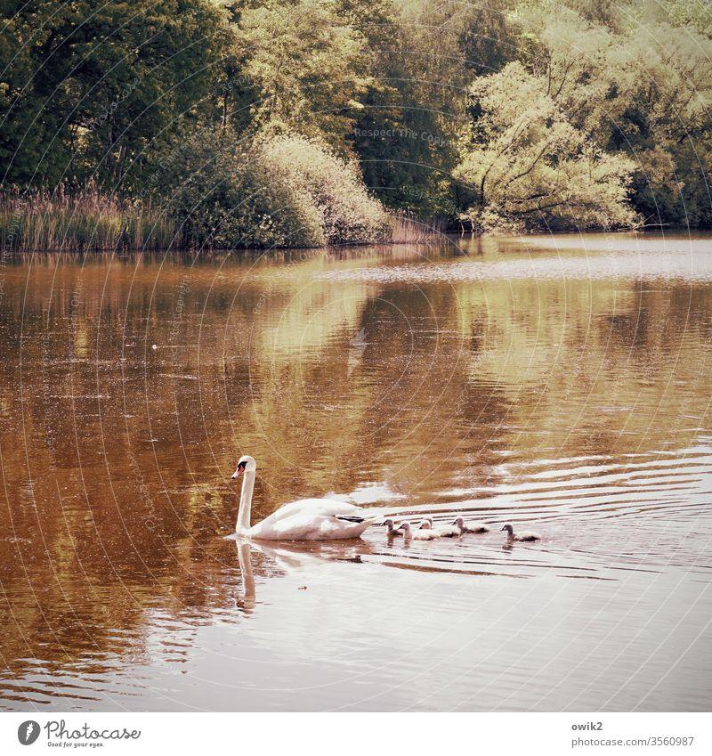 Verfolgungswahn Familie & Verwandtschaft Schwan Küken Jungvögel Kinder Gefolge Jungvogel Wildtier Natur Teich Tierjunges Menschenleer Farbfoto niedlich Vogel