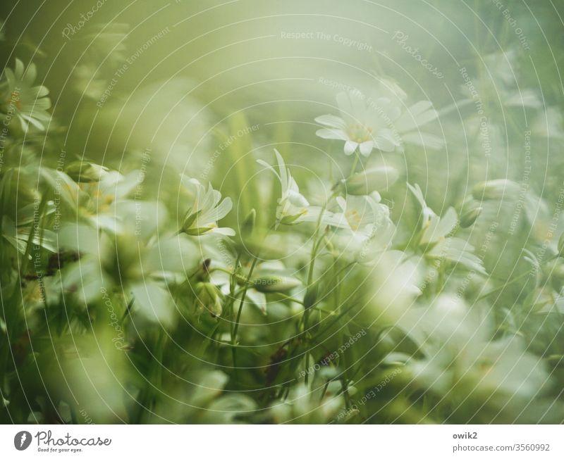 Pastellwiese Wiese Blümchen Bodendecker Blüten blühen klein nah viele Bewegungsunschärfe Unschärfe duftend Natur Pflanze Blume Frühling Außenaufnahme Farbfoto