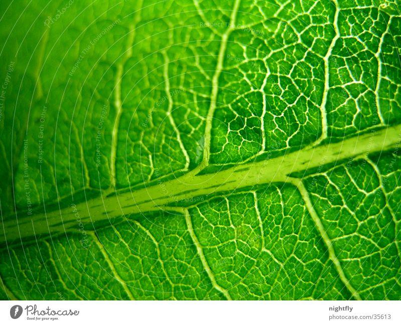 grüne adern Farbfoto Detailaufnahme Makroaufnahme Muster Natur Pflanze Baum Blatt frisch natürlich Sauberkeit Ordnungsliebe Reinheit Zufriedenheit Design