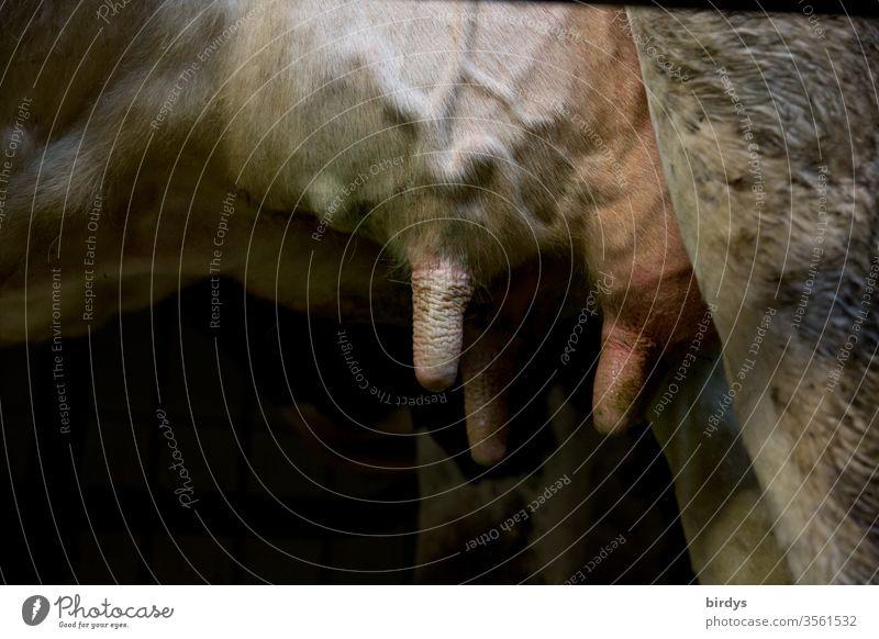 Das Euter einer Milchkuh Kuh Nutztier Milchwirtschaft Biologische Landwirtschaft Menschenleer Nahaufnahme Landleben Zitzen Bioprodukte Adern Milchprodukition