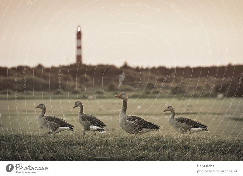 heimwärts Natur Landschaft Himmel Wiese Feld Küste Nordsee Insel Vogel 4 Tier Tiergruppe Tierfamilie gehen watscheln Gänsemarsch Amrum Leuchtturm Lampe Horizont