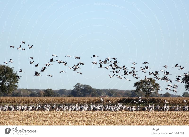 jede Menge Kraniche stehen auf einem abgeernteten Maisfeld und viele fliegen in der Luft Vogel Zugvogel Vogelzug Herbst Futtersuche Feld Landwirtschaft Schwarm