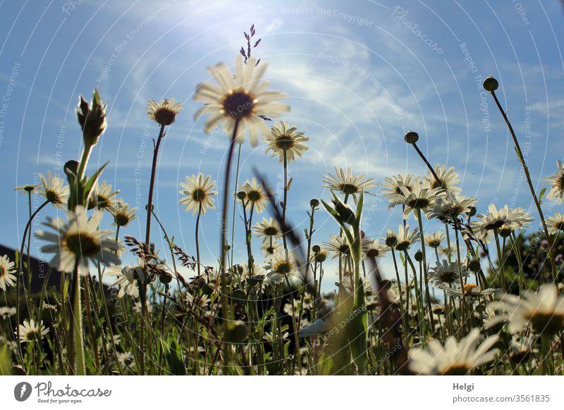 blühende Margaritenwiese vor blauem Himmel mit zarten Wölkchen aus der Froschperspektive Blume Blüte Blumenwiese Sommerblumen viele Wiese Natur Pflanze Farbfoto