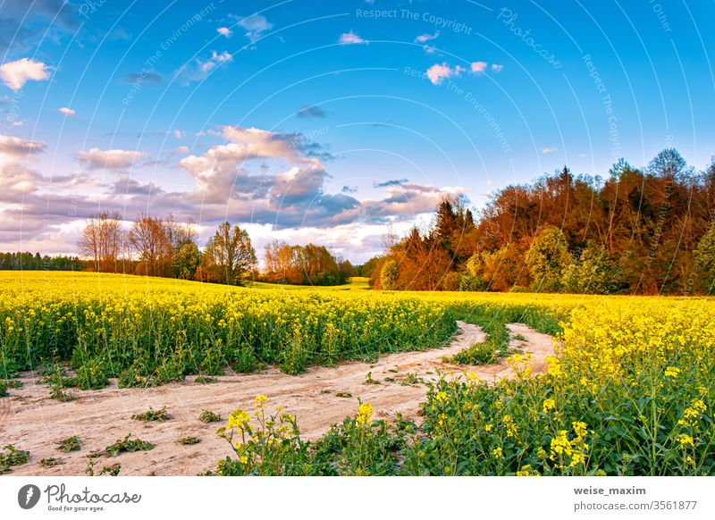 Ländlicher Feldweg auf einer Farm für Blütenraps. Ölsaaten blühen. Blume Natur Sonnenuntergang gelb Frühling Straße Sommer ländlich Wolken Landschaft Raps