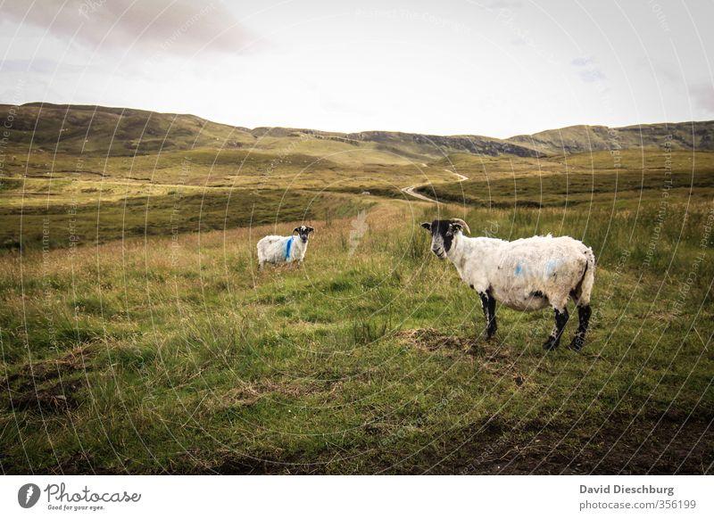 Schafsziegen? Natur Ferien & Urlaub & Reisen grün weiß Sommer Pflanze Landschaft Tier schwarz Ferne gelb Berge u. Gebirge Wiese Herbst Gras Frühling