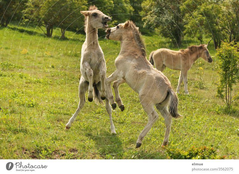 drei spielende Wildpferdfohlen im Grünen Fohlen Pferd Rangkampf Kräftemessen wild Pferdegebiss aufsteigen stehen Wiese Tierjunges Tierporträt Landschaft
