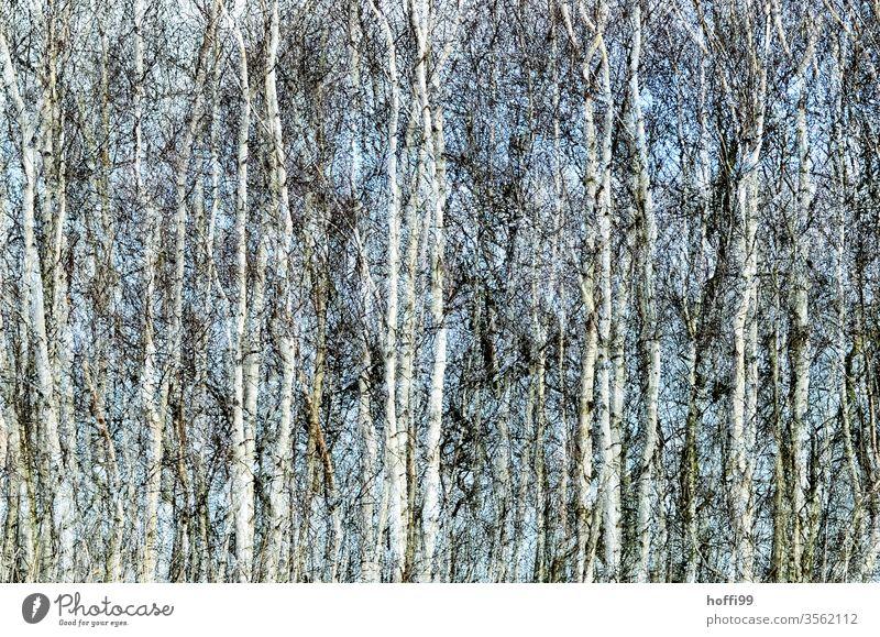das Rauschen der Birken Birkenwald Birkenblätter Baum Natur Pflanze Wald abstrakt Frühling Frühjahr Landschaft Umwelt grün Sommer