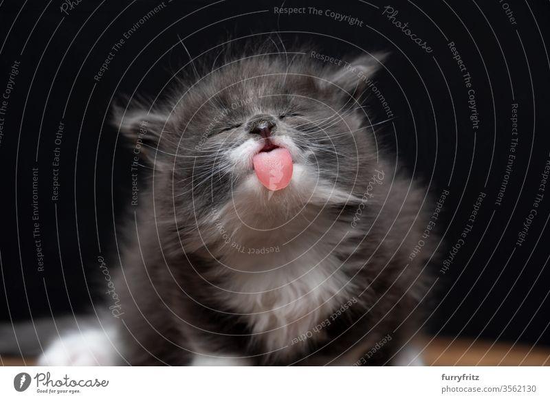 lustiges portrait eines 4 Wochen altes Maine Coon Kätzchen mit herausgestreckter Zunge Katze maine coon katze Langhaarige Katze Rassekatze Haustiere niedlich