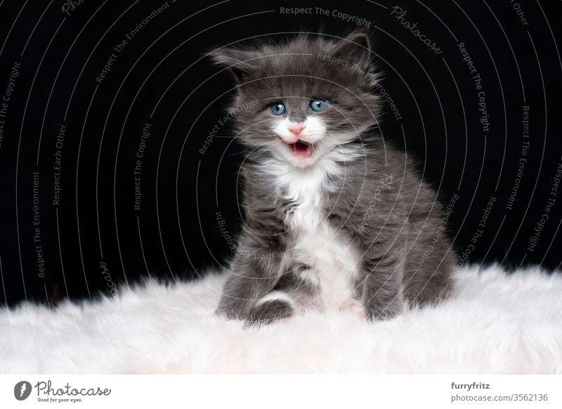 süßes blau weißes maine coon Kätzchen leckt die Lippen vor schwarzem Hintergrund Katze maine coon katze Langhaarige Katze Rassekatze Haustiere niedlich