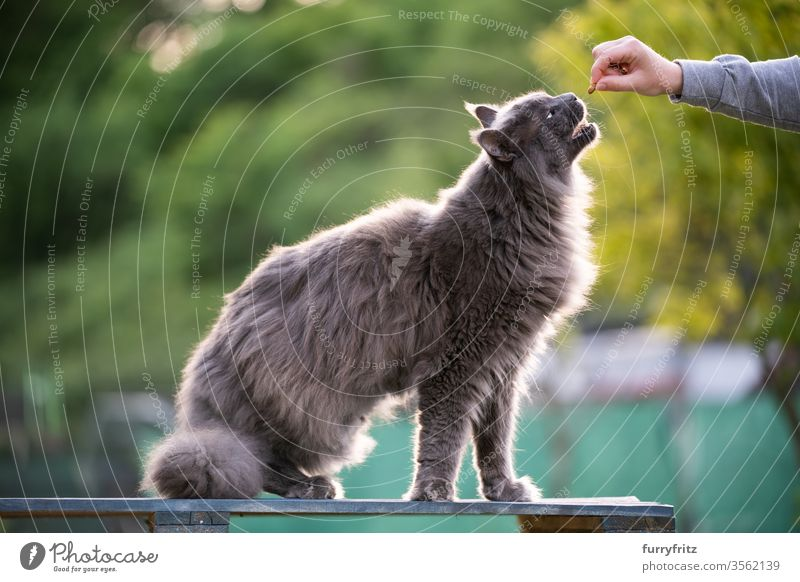 Maine Coon Katze wird im Garten mit Leckerchen gefüttert maine coon katze Langhaarige Katze Rassekatze Haustiere Fell fluffig katzenhaft schön blau grau