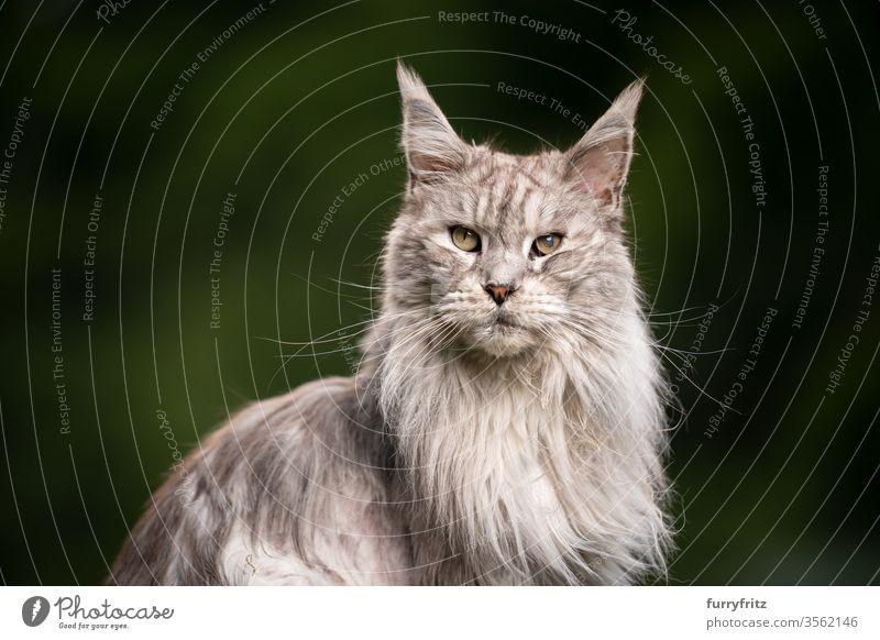 10 Jahre alte Maine Coon Katze mit der augenkrankheit grauer star maine coon katze Langhaarige Katze Rassekatze Haustiere Fell fluffig katzenhaft schön