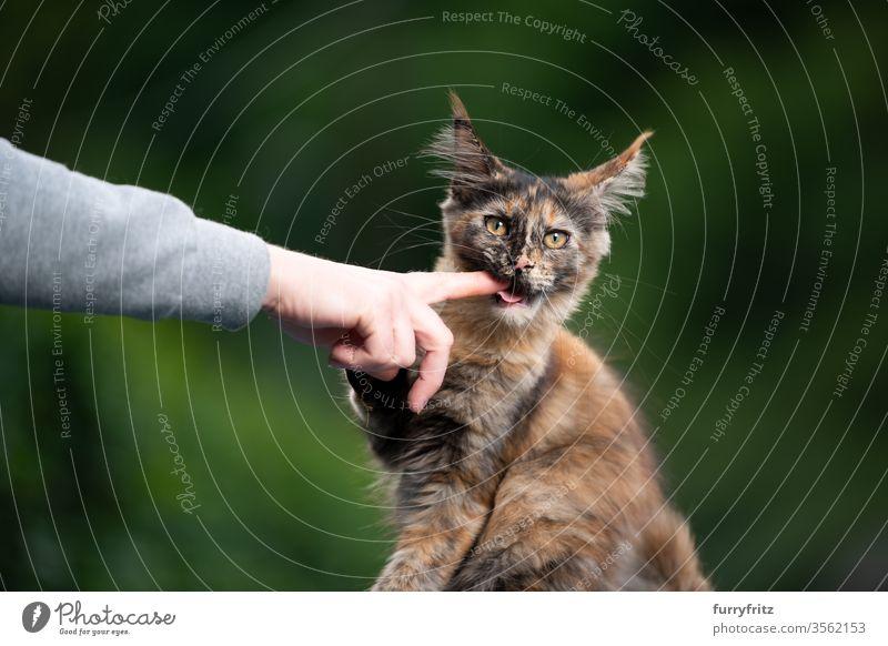 süßes Maine Coon Kätzchen beißt in den Finger Katze maine coon katze Langhaarige Katze Rassekatze Haustiere niedlich bezaubernd Katzenbaby Fell fluffig