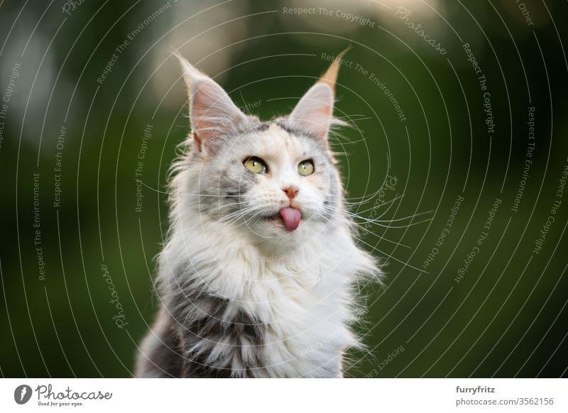 lustiges Porträt einer weißen Maine Coon Katze, die ihre Zunge rausstreckt maine coon katze Langhaarige Katze Rassekatze Haustiere niedlich bezaubernd Fell