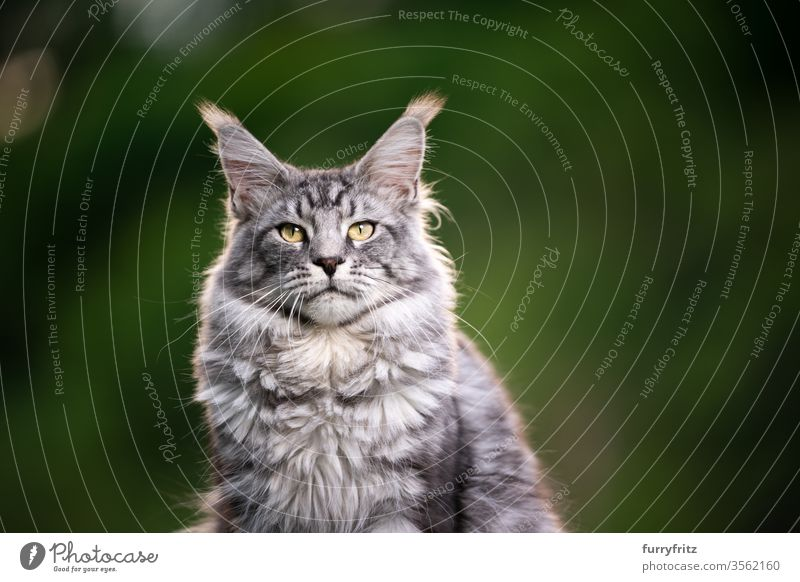 Porträt einer schönen Maine Coon Katze im Freien in der Natur maine coon katze Langhaarige Katze Rassekatze Haustiere Fell fluffig katzenhaft silber gestromt