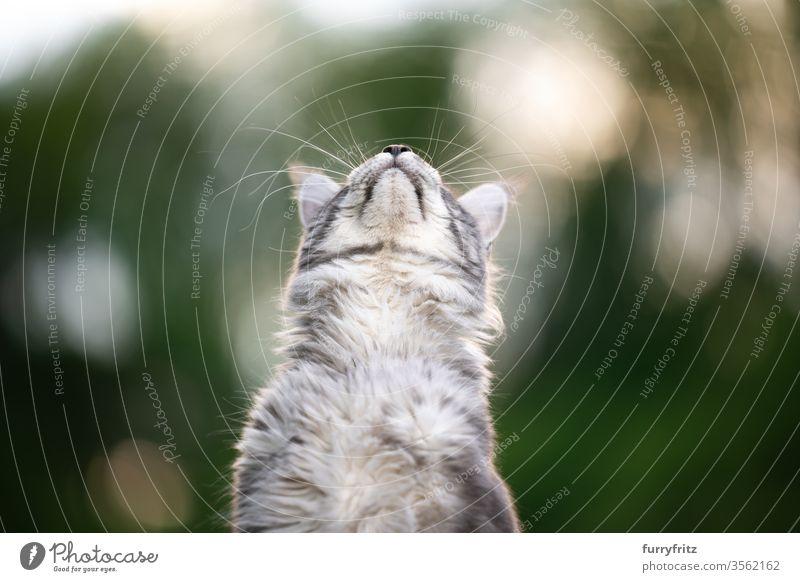 Maine Coon Katze, die draußen in der Natur in den Himmel schaut maine coon katze Langhaarige Katze Rassekatze Haustiere niedlich bezaubernd Fell fluffig