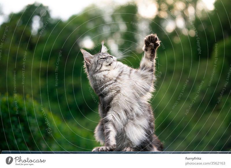 Maine Coon Katze draußen im Garten beim Spielen maine coon katze Langhaarige Katze Rassekatze Haustiere Fell fluffig katzenhaft schön silber gestromt