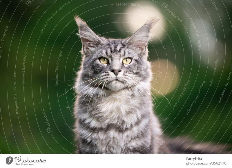 silver tabby Maine Coon Katze im Freien in der Natur mit Blick in die Kamera maine coon katze Langhaarige Katze Rassekatze Haustiere Fell fluffig katzenhaft