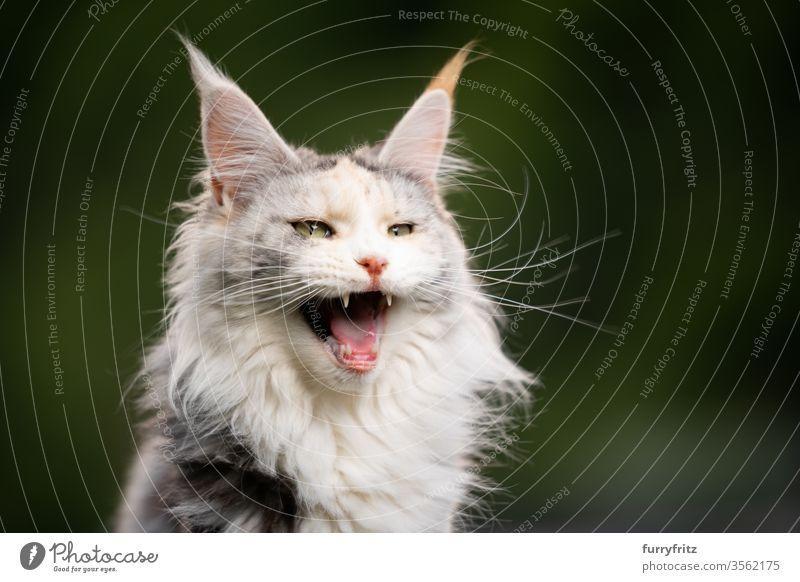 maine coon katze in der natur miaut Katze Langhaarige Katze Rassekatze Haustiere niedlich bezaubernd Fell fluffig katzenhaft schön weiß Textfreiraum Ein Tier