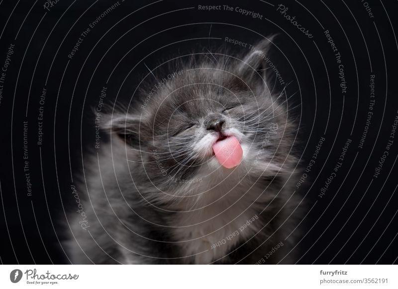 lustig aussehendes freches Maine Coon Kätzchen mit herausgestreckter Zunge Katze maine coon katze Langhaarige Katze Rassekatze Haustiere niedlich bezaubernd
