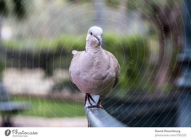 Taubenwalk blau grün weiß Tier schwarz Vogel Park laufen Feder Geländer Tiergesicht Taube Laufsteg stolzieren
