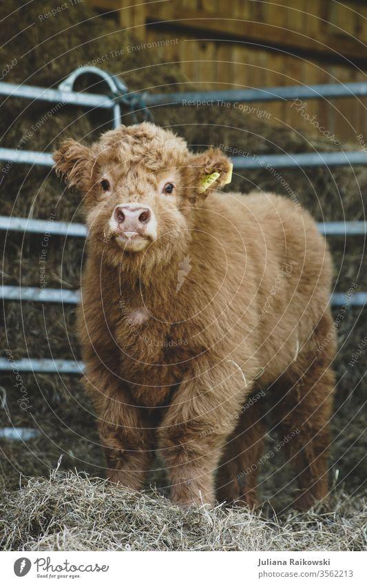 süßes Hochlandrind Kalb Schottisches Hochlandrind Tier Kuh Nutztier Außenaufnahme braun Rind Horn Tierporträt Fell Natur Baby kuschlig Schnauze Schottland