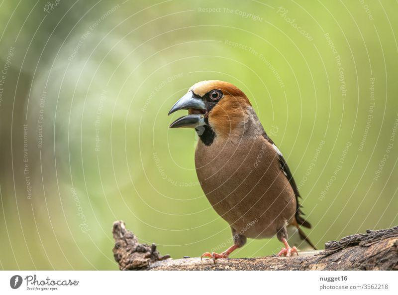 Kernbeißer auf Ast sitzend Singvogel Vogel Tier Außenaufnahme Farbfoto Natur 1 Tag Singvögel Wildtier Tierporträt Menschenleer Schwache Tiefenschärfe Umwelt