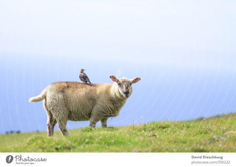 Sesselpupser Himmel Natur Ferien & Urlaub & Reisen blau grün Sommer Tier schwarz gelb Berge u. Gebirge Wiese Gras Frühling Küste Freundschaft Vogel