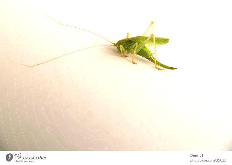 Just Jump grün Heuschrecke hopper grass Nahaufnahme