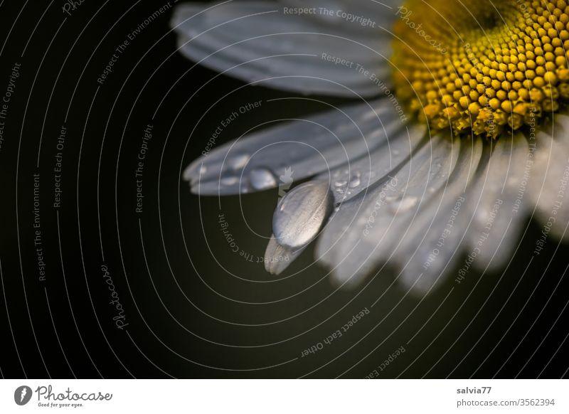Regentropfen auf Margeritenblüte vor dunklem Hintergrund Blüte Blume Tropfen Pflanze Blütenblatt frisch Tau nass Makroaufnahme Wassertropfen Nahaufnahme