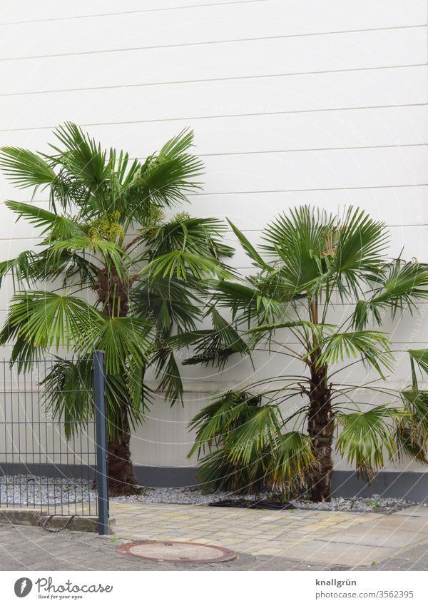 Zwei Palmen vor einer weißen Hauswand, umgeben von weißen Kieselsteinen und gepflastertem Gehweg, links daneben ein Metallzaun Garten Natur