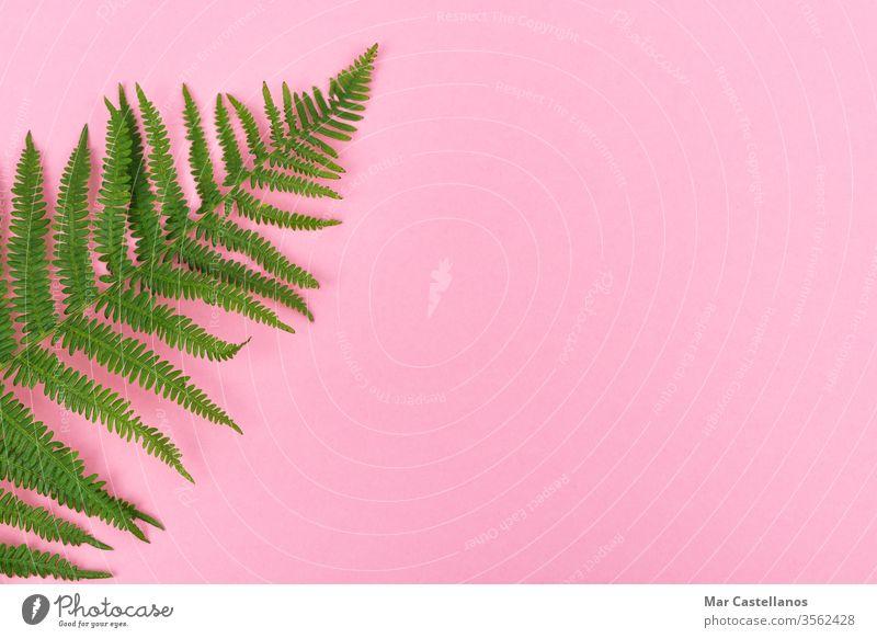 Farnblatt auf rosa Hintergrund mit Platz für Kopien auf der rechten Seite. Ansicht von oben. Konzept der grafischen Ressourcen. Wurmfarn Blätter Postkarte Flora