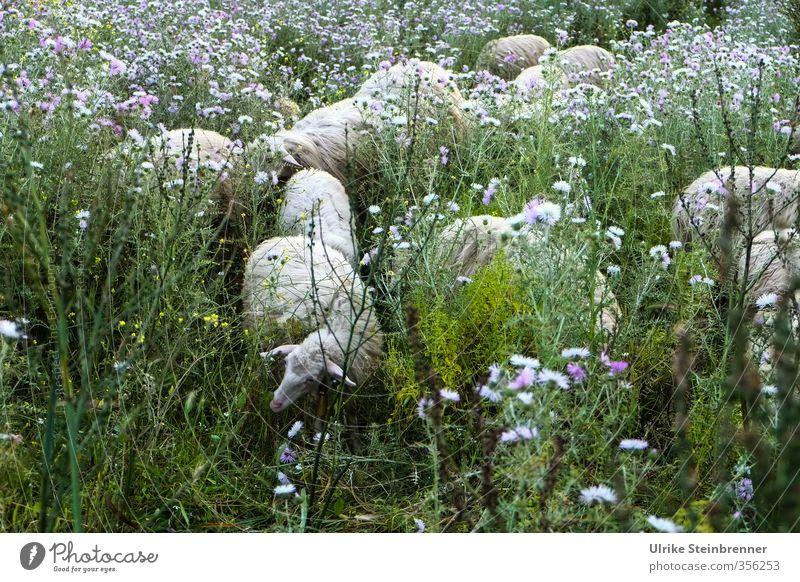 Lost in Vegetation Natur Ferien & Urlaub & Reisen grün weiß Pflanze Landschaft Blume Tier Umwelt Wiese Gras Frühling Tourismus Insel Sträucher Tiergruppe
