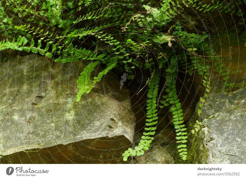 Farn Kraut in einem Felsen Umwelt Natur Stein grüne Pflanze Garten Farne Gefäßsporenpflanzen felsig steinig biotop Biologie Sommer gestein grauwacke Steinbruch