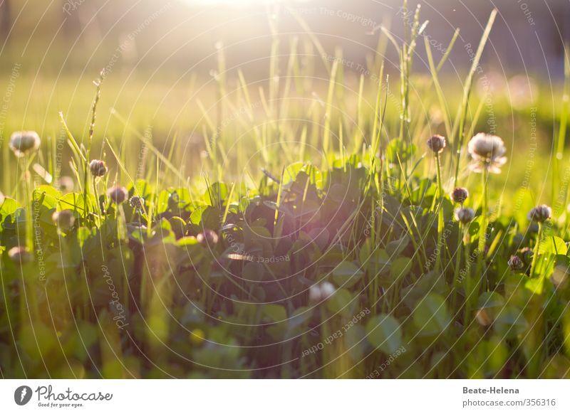 morning has broken Sommer Natur Landschaft Sonne Sonnenlicht Schönes Wetter Pflanze Gras Klee Wiese entdecken genießen glänzend natürlich grün Gefühle