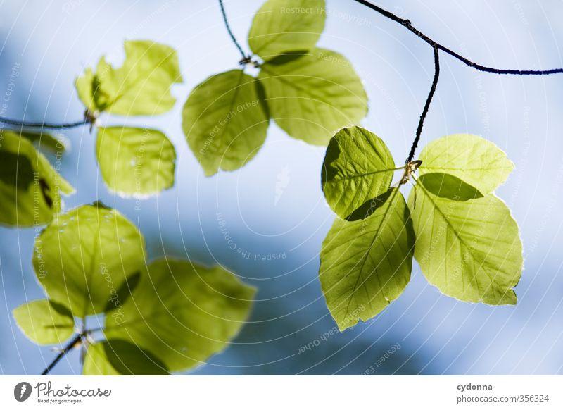 Buchenblätter Gesundheit Leben harmonisch Wohlgefühl Erholung ruhig Umwelt Natur Himmel Frühling Sommer Pflanze Baum Blatt ästhetisch einzigartig erleben