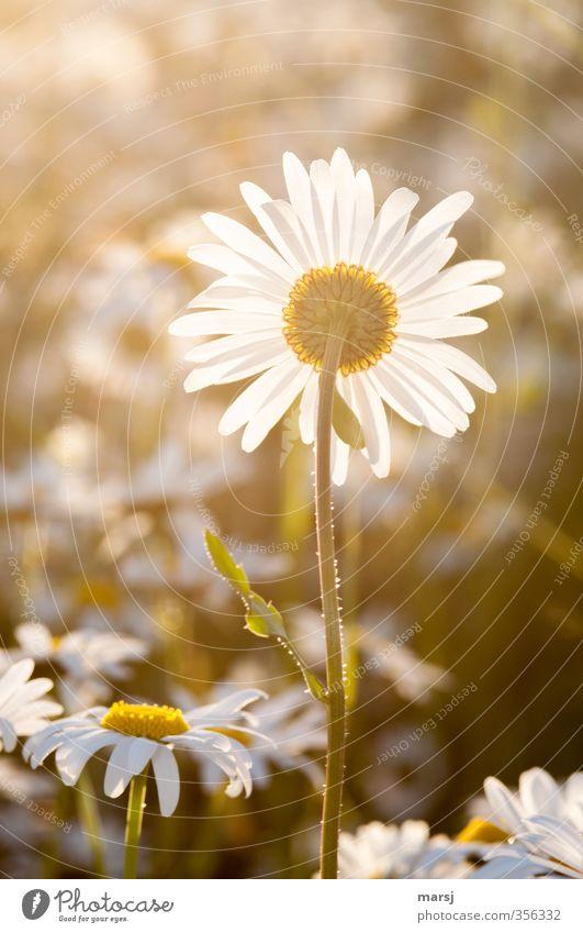 Letztes Sonnenbad Natur Pflanze Frühling Sommer Schönes Wetter Blume Blüte Grünpflanze Wildpflanze Margerite Margeritenwiese Blühend genießen leuchten träumen