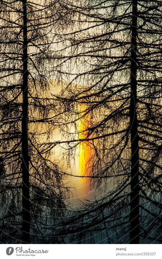 Juhui Umwelt Natur Sonnenaufgang Sonnenuntergang Sonnenlicht Frühling Herbst Wetter Schönes Wetter Baum Lärche Wald leuchten außergewöhnlich Glück natürlich