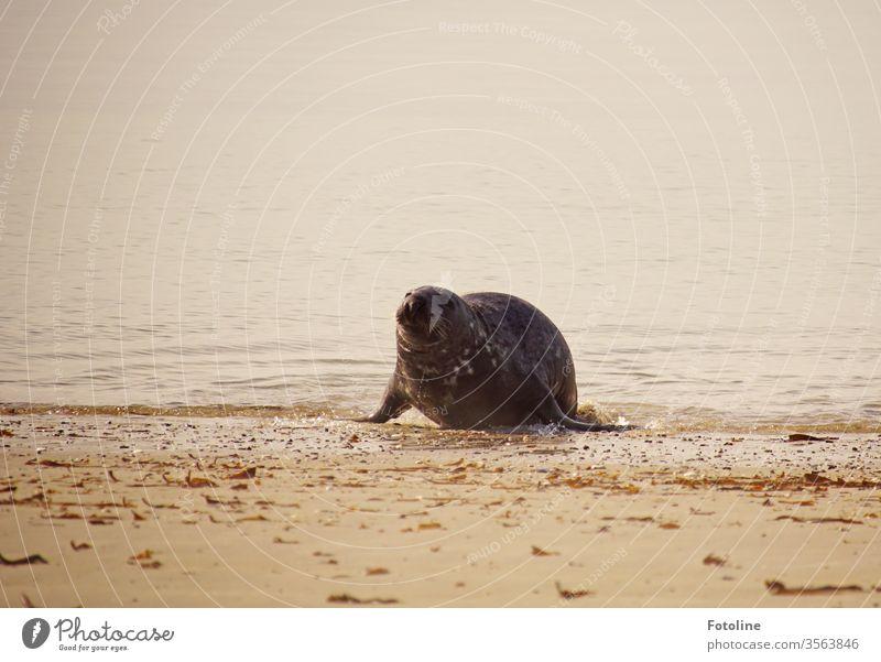 Nach einem ausgiebigen Bad kommt die Kegelrobbe an Land gerobbt, um in der Sonne zu dösen und zu trocknen. Robbe Säugetier nass Tier Natur Wildtier