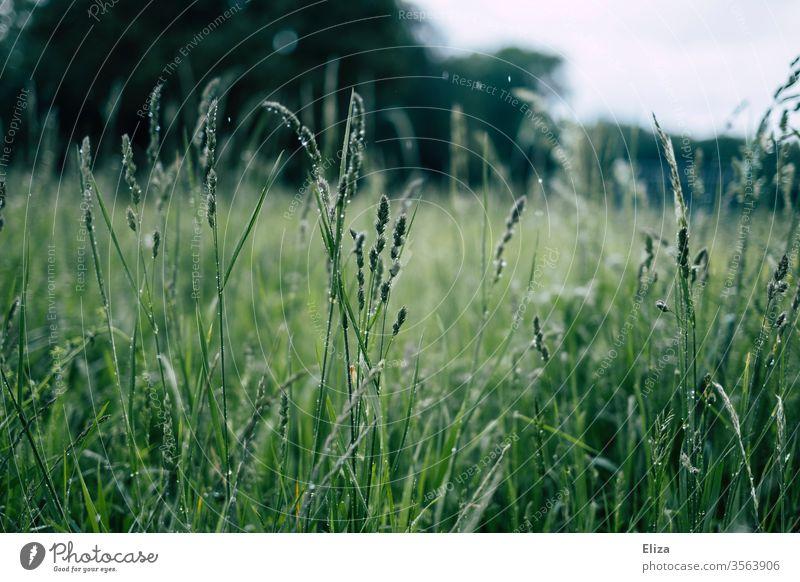 Nasse Gräser auf einer grünen Wiese bei Regen Tropfen nass Regenwetter Wassertropfen Natur Tau Gras feucht Pflanze draußen