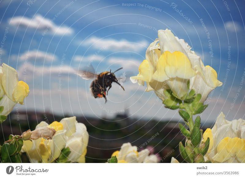 Flugwesen Hummel sammeln fliegen summen Blume Frühling fleißig Blüte Pflanze Tier Natur Farbfoto Außenaufnahme Insekt Sommer Menschenleer Garten Nahaufnahme