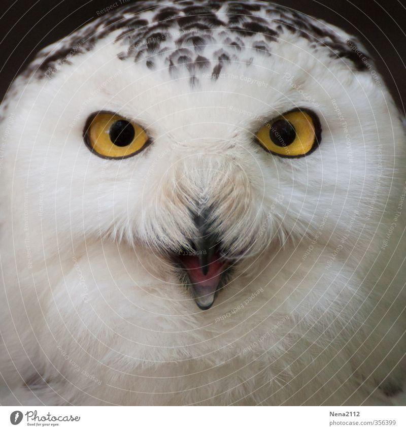 Ist was? Natur weiß Tier gelb Umwelt Auge Vogel ästhetisch fantastisch Tiergesicht schreien Aggression Schnabel Eulenvögel Schnee-Eule