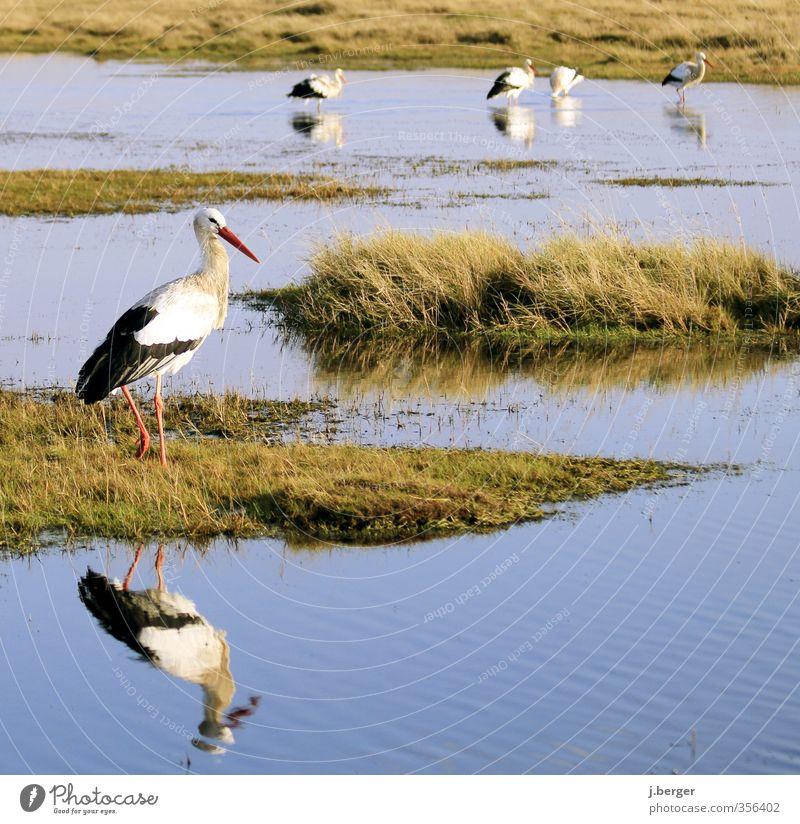 schreitvögel blau grün weiß Meer Tier Küste Vogel Wildtier Tiergruppe Nordsee Schwarm Wattenmeer Storch Feuchtwiese St. Peter-Ording Tierfamilie