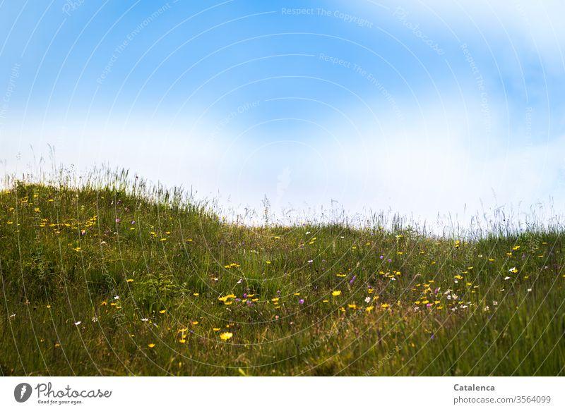 An einem Sommermorgen auf der Alm Flora Pflanze Gras Käuter Blume Blüte duften blühen wachsen Himmel Wolken schönes Wetter Grün Gelb Blau Wiese Blumenwiese