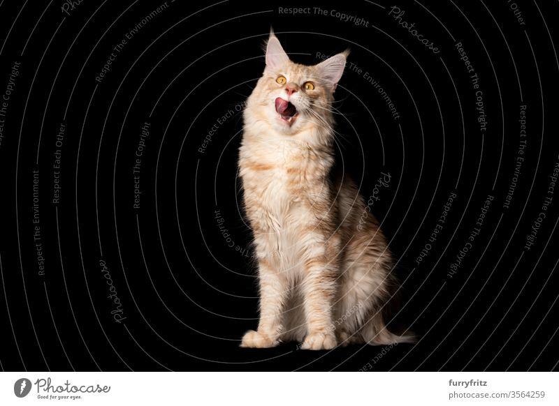 Studioporträt einer hungrigen Maine Coon Katze, die die Lippen leckt, isoliert auf schwarzem Hintergrund Haustiere Rassekatze maine coon katze Ohrbüschel lang